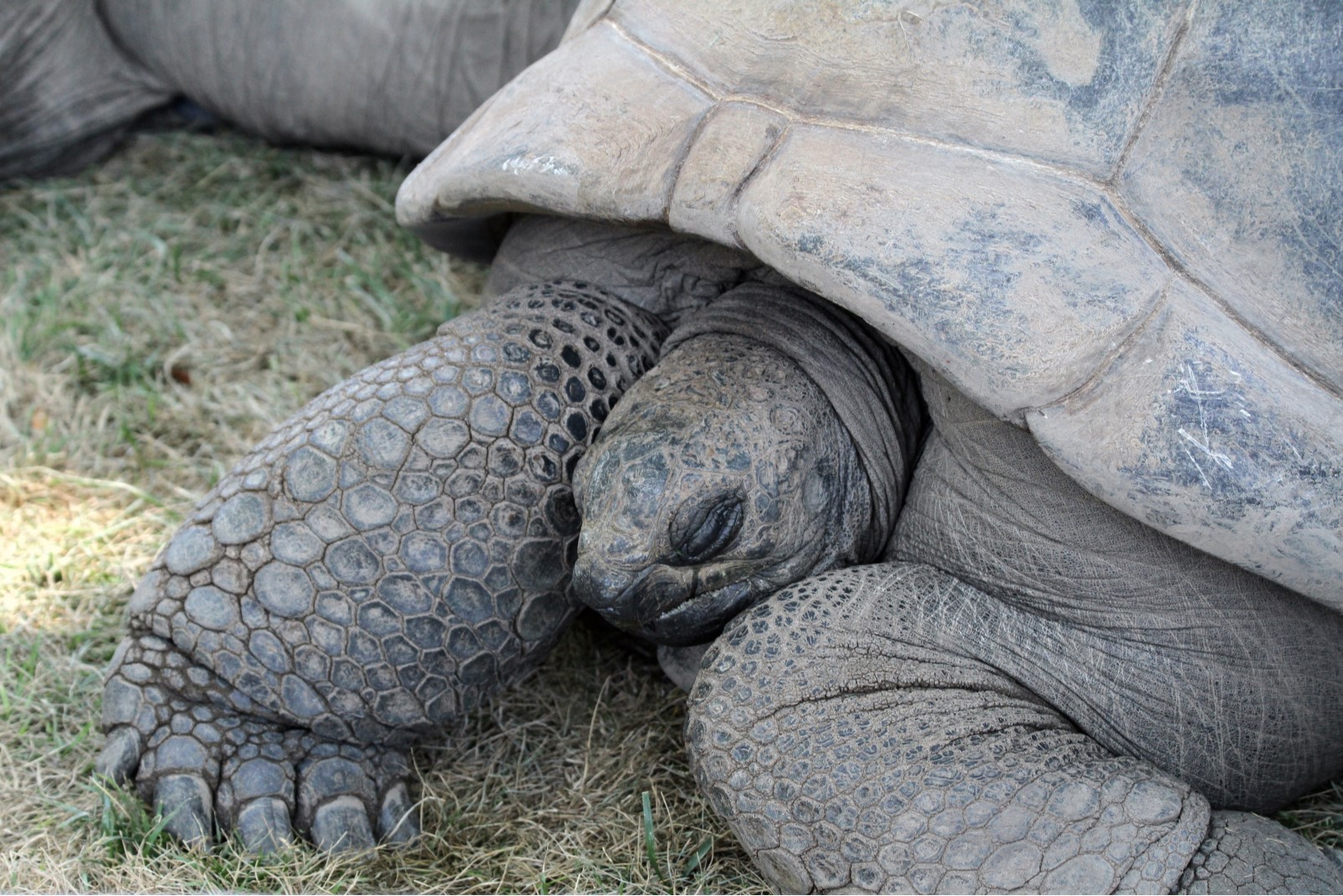 Aldabra, Seychelles, tartaruga gigante
