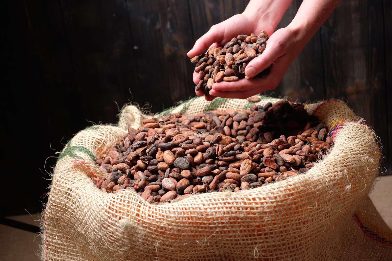 Chocoversum by Hachez Hamburg cocoa beans