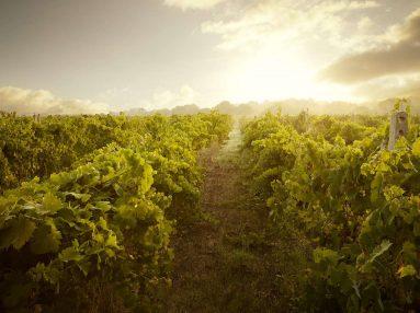 Vineyard, Vermentino di Gallura