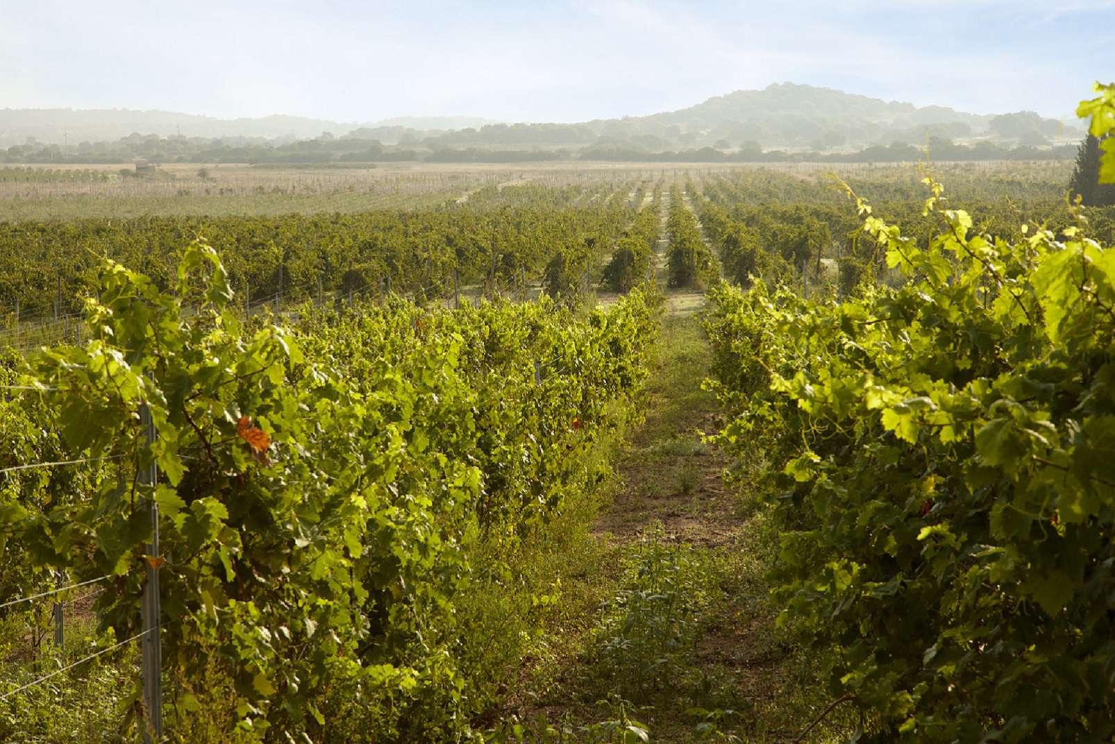 Vineyard, Vermentino di Gallura, photo © Michele Secchi