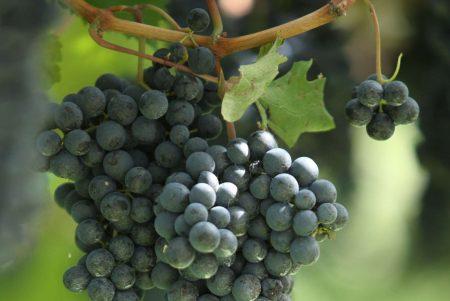 Teroldego Rotaliano bunch of grapes