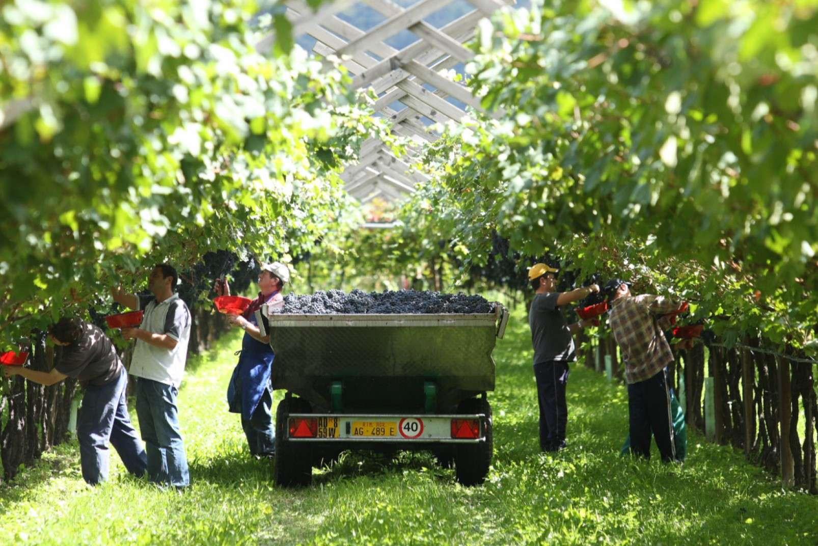 Teroldego Rotaliano harvest