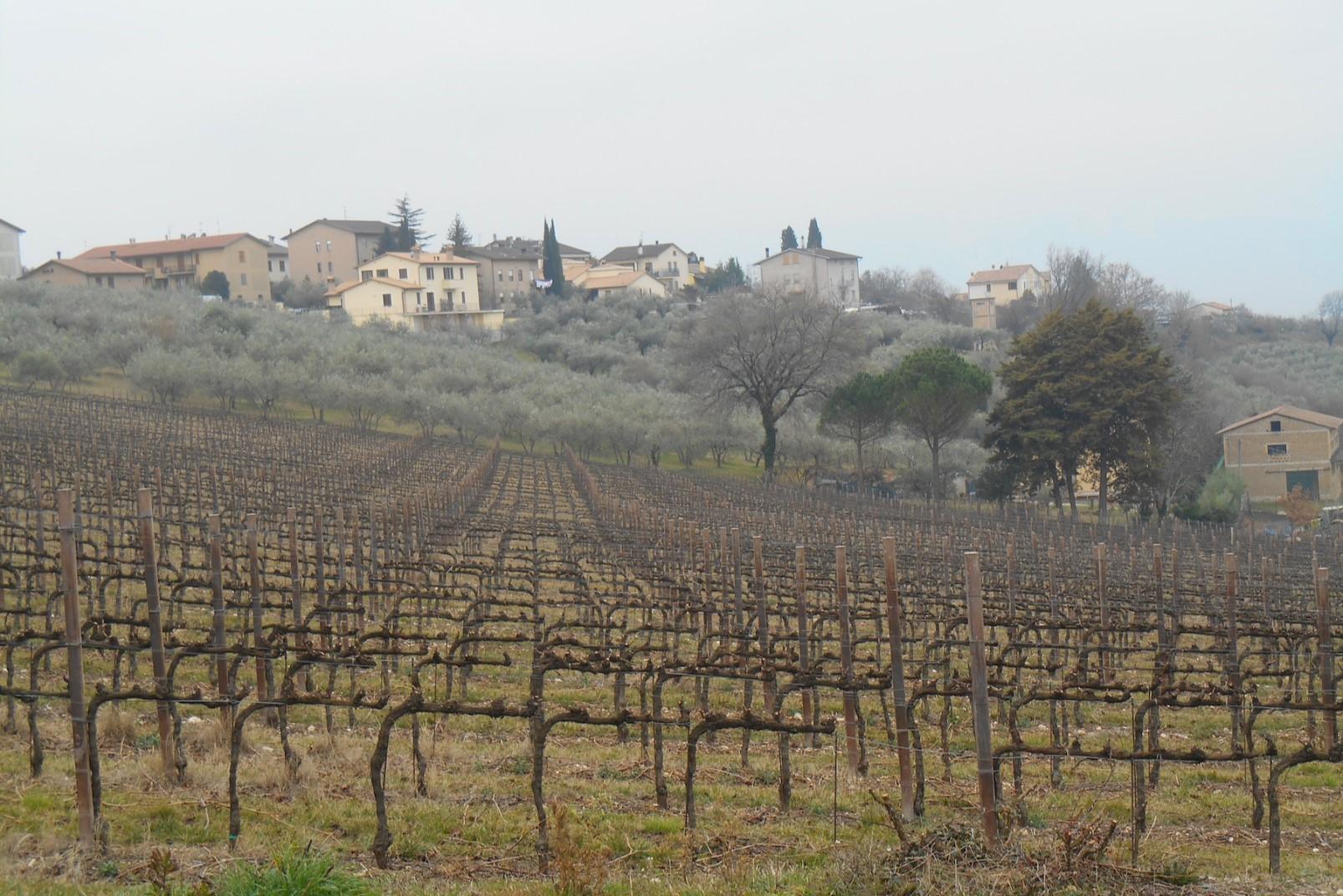 Sagrantino di Montefalco_vigne (002)
